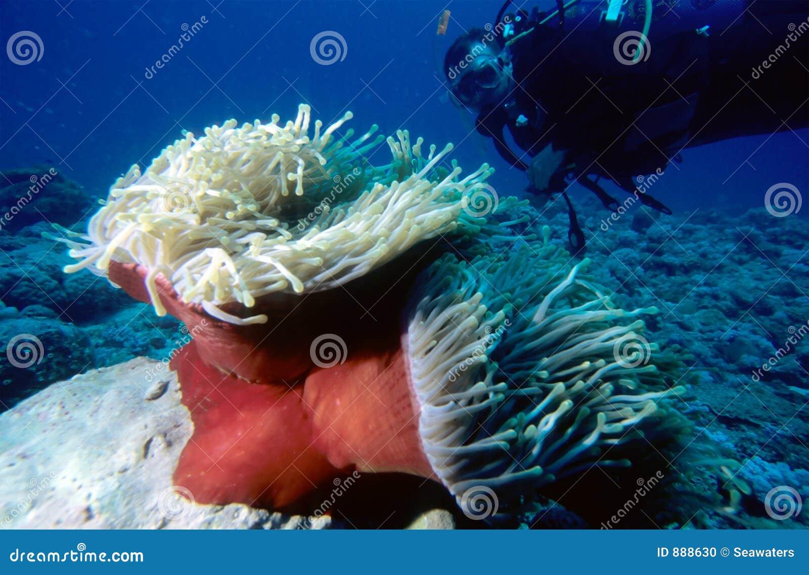Operatore subacqueo ed Anemone