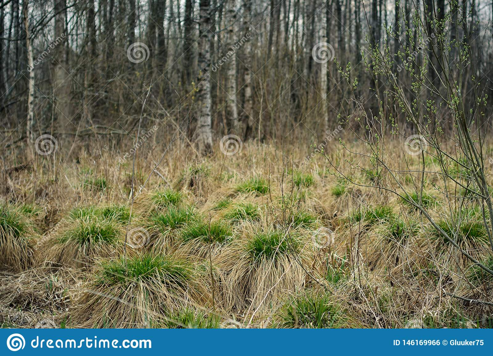 Opgedroogd de lentemoeras droge heuveltjes met kammosselen van jong groen gras tegen de achtergrond van berkbosje
