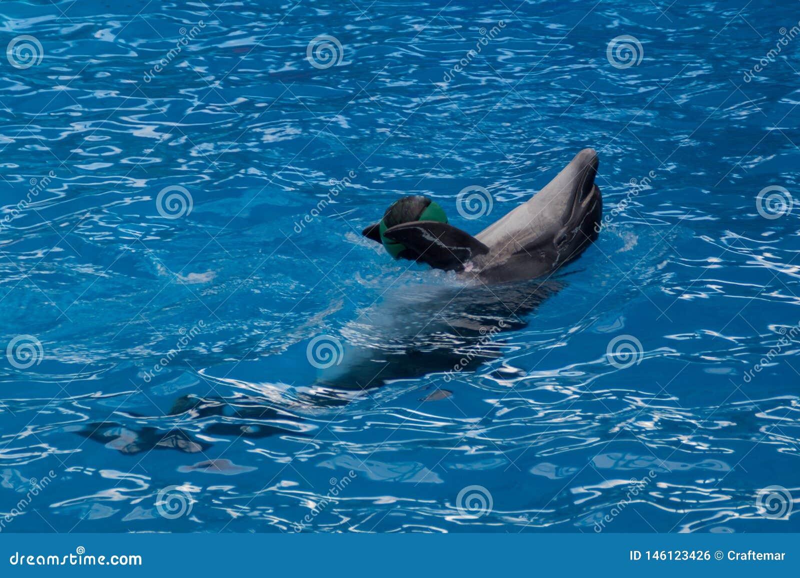 Opgeleide dolfijn in het aquarium, dolphinariums Toon met dolfijnen Dolfijn het spelen met een bal de trainerwerken met opgeleid