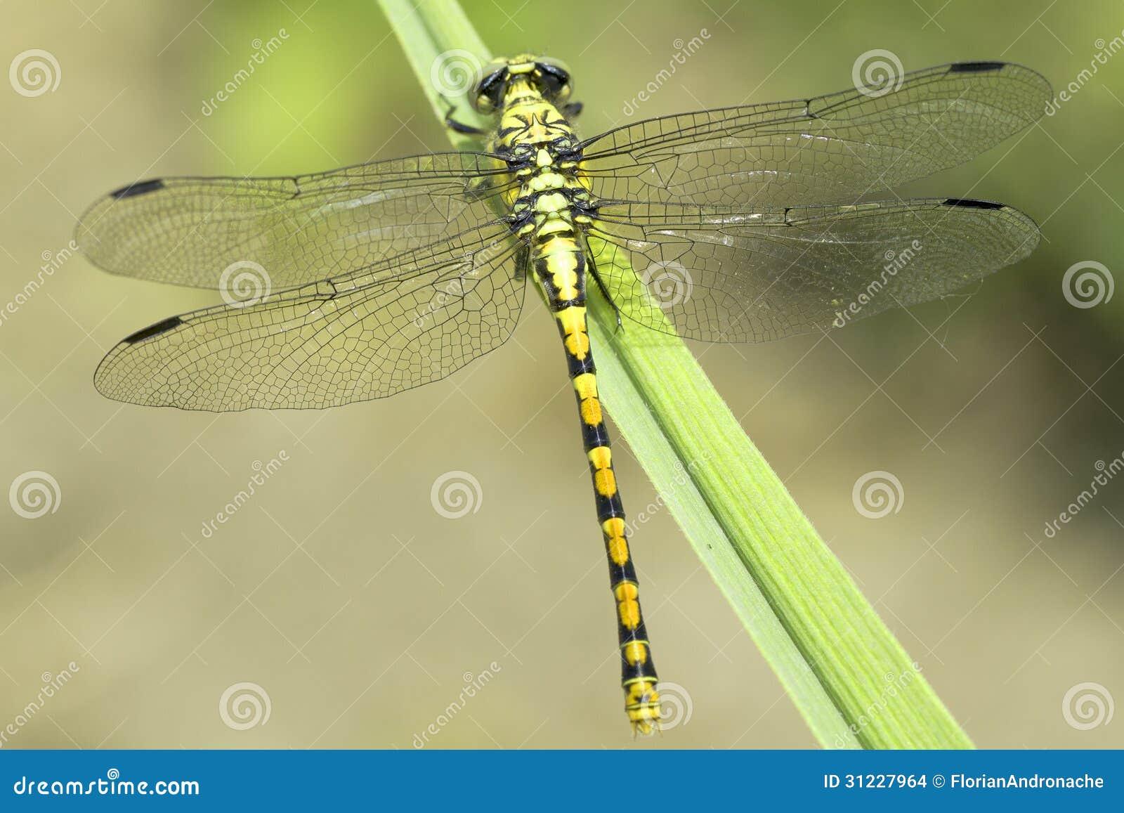 Ophiogomphus Cecilia, zieleni Snaketail dragonfly/