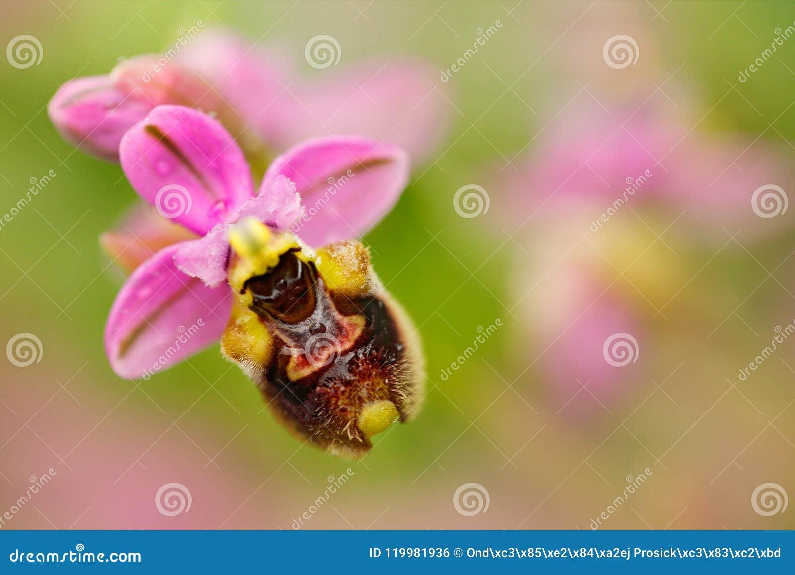 Ophrys tenthredinifera,锯蝇兰花, Gargano在意大利 开花的欧洲地球野生兰花,自然栖所 美好的det