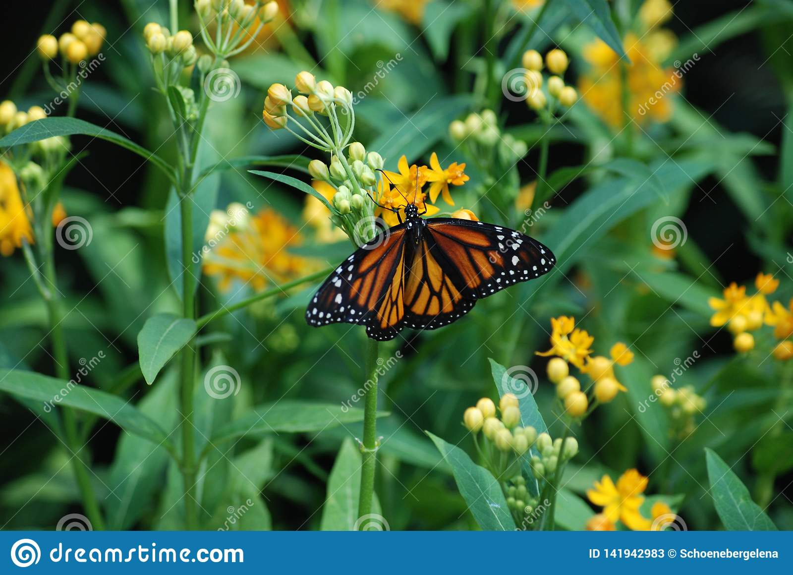 Opiekunu anioł - Monarchicznego motyla karmienie na Żółtym kwiacie