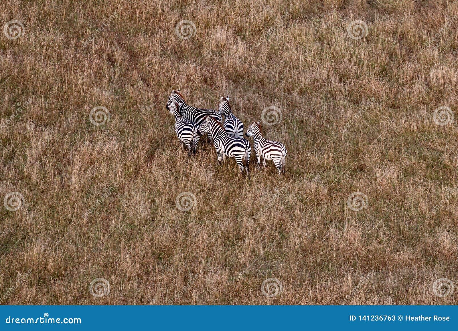Opinião aérea as zebras em Masai Mara, Kenya, África
