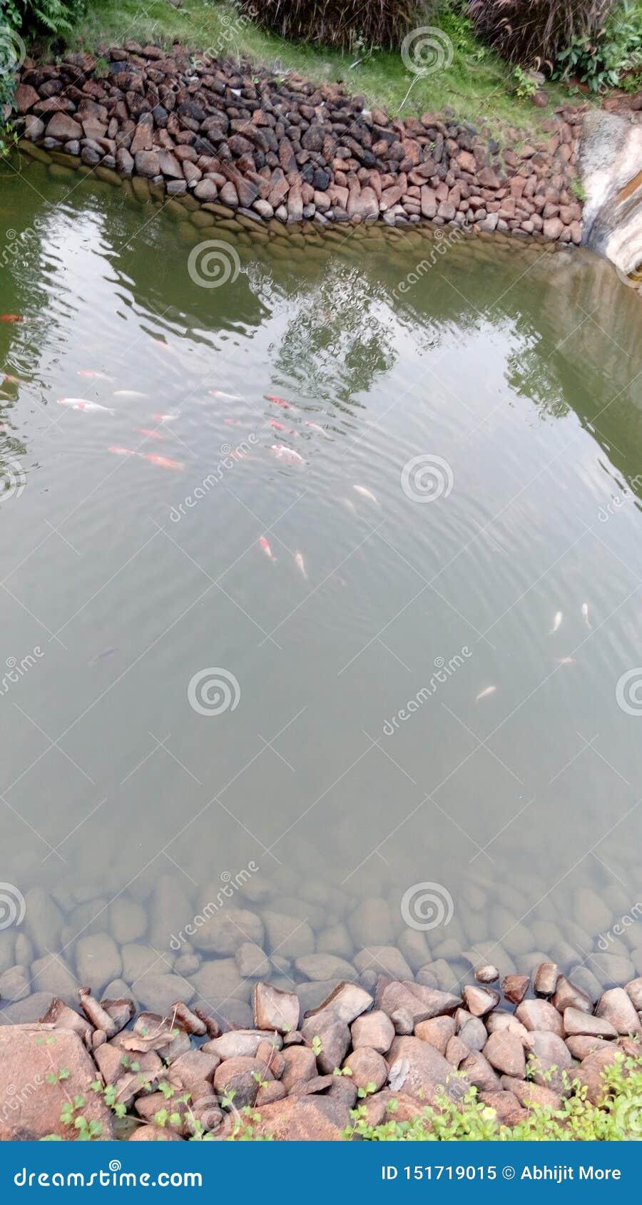 Opinião de ângulo alto as carpas do koi que nadam na lagoa