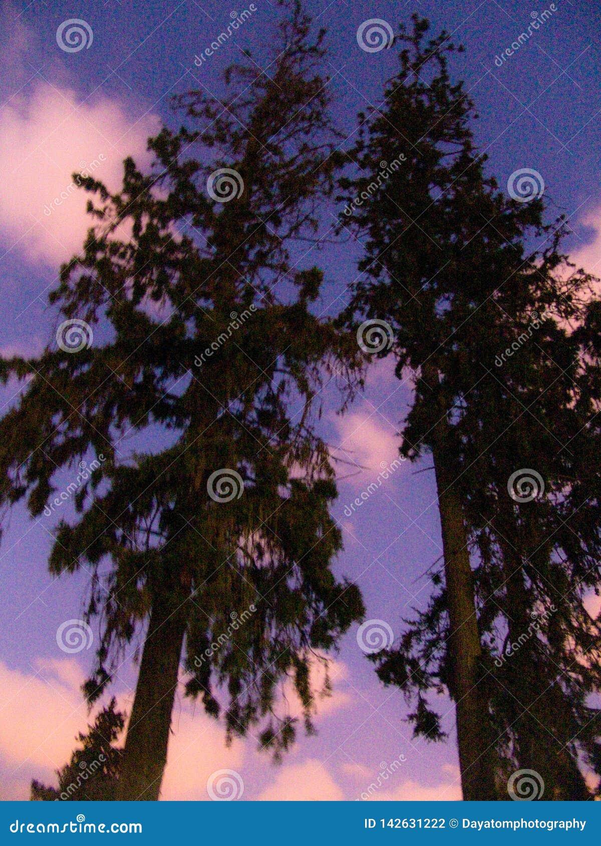 Opinião de baixo ângulo de duas árvores altas e de céus nebulosos coloridos no crepúsculo
