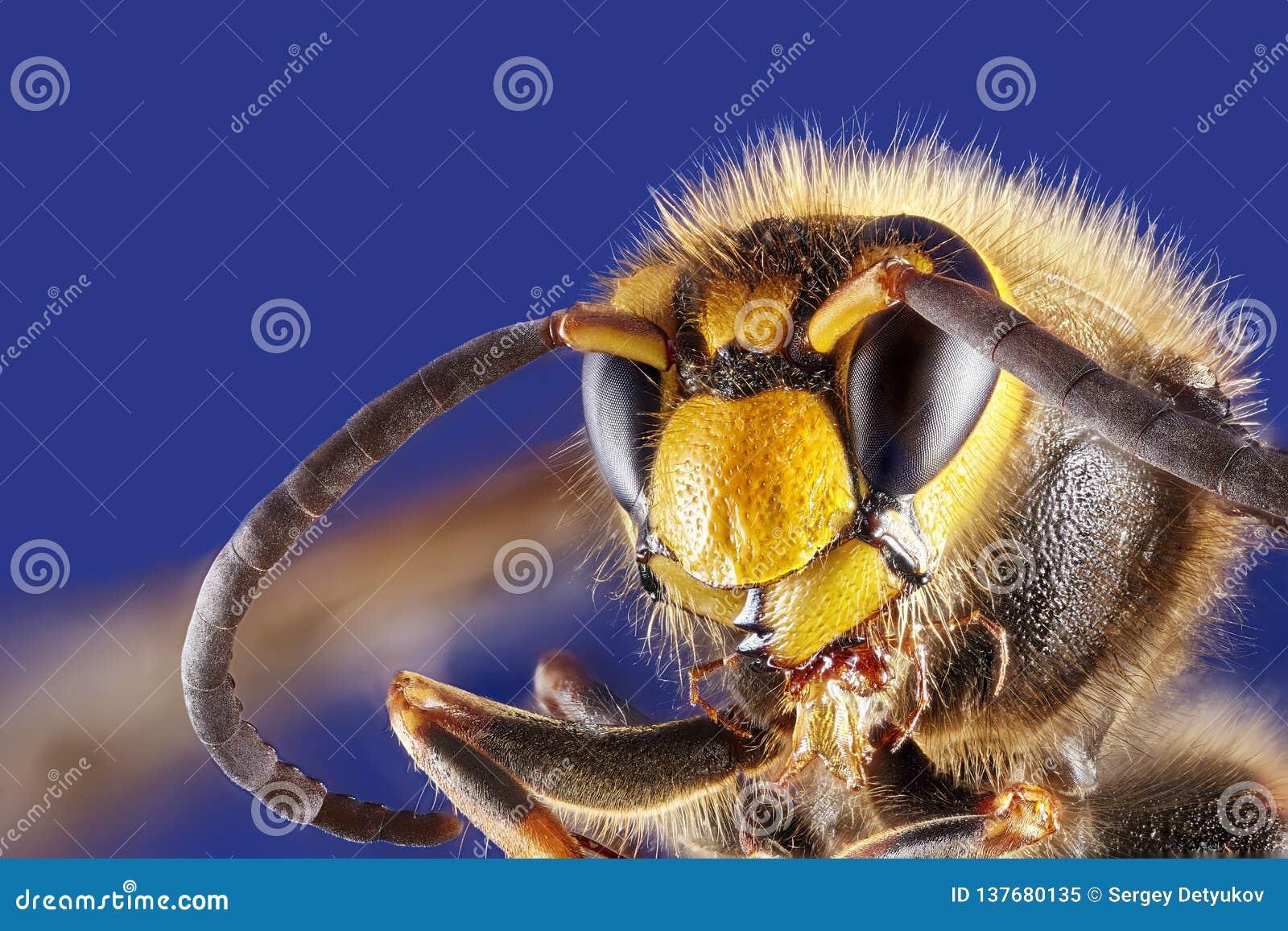 Opinião dianteira da vespa no fundo branco, close-up macro