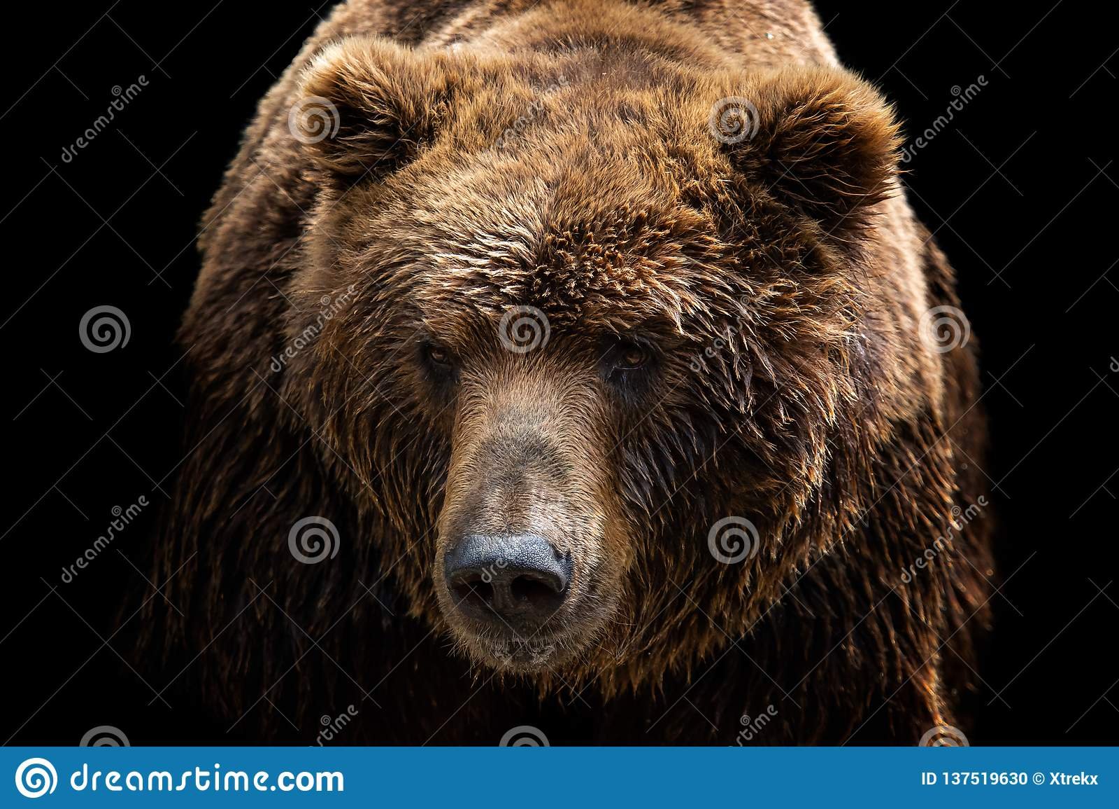 Opinião dianteira o urso marrom isolada no fundo preto Retrato do urso de Kamchatka
