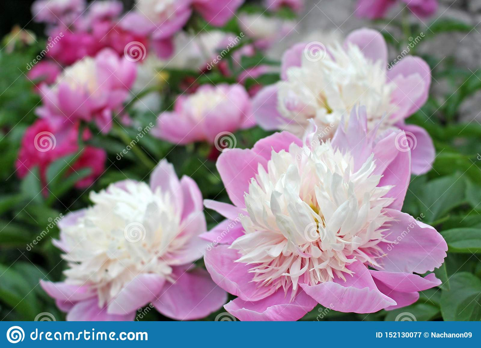 A opinião do close-up da flor branca e roxa delicada bonita no verde graden