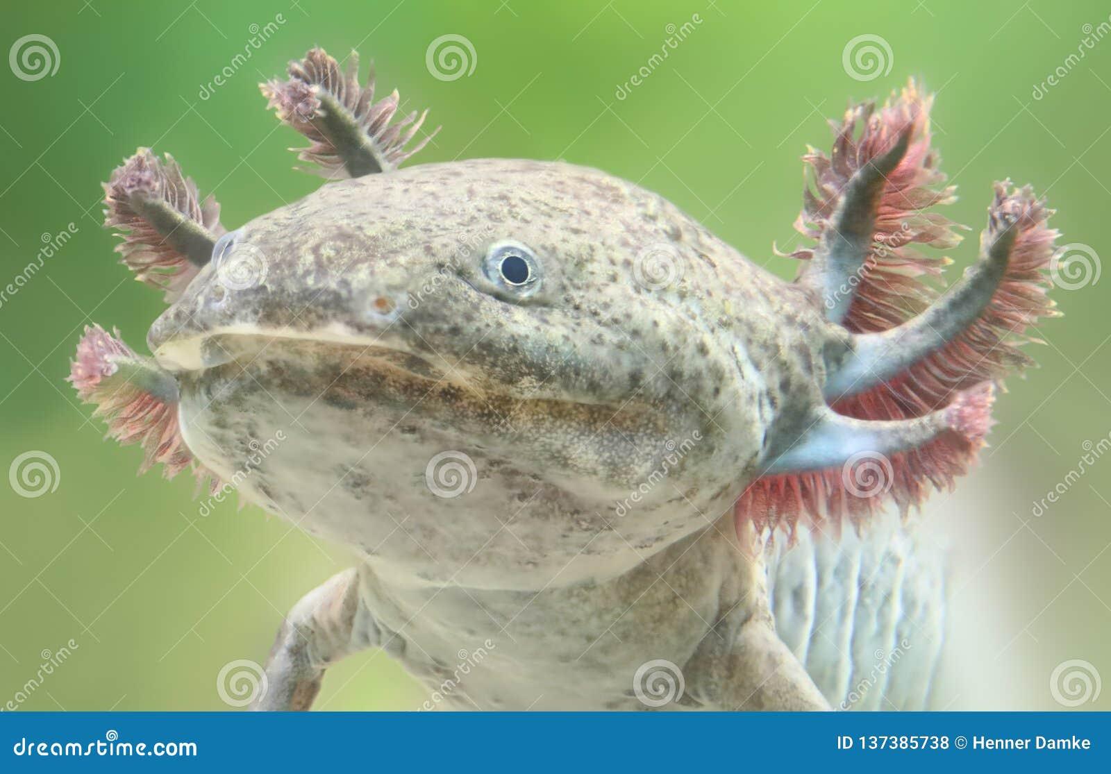 Opinião do close-up de um Axolotl