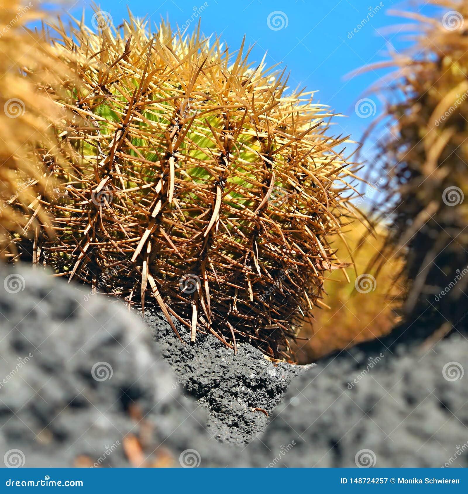 Opinião do close-up de um grande cacto, um echinocactus, grusonii de Echinocactus