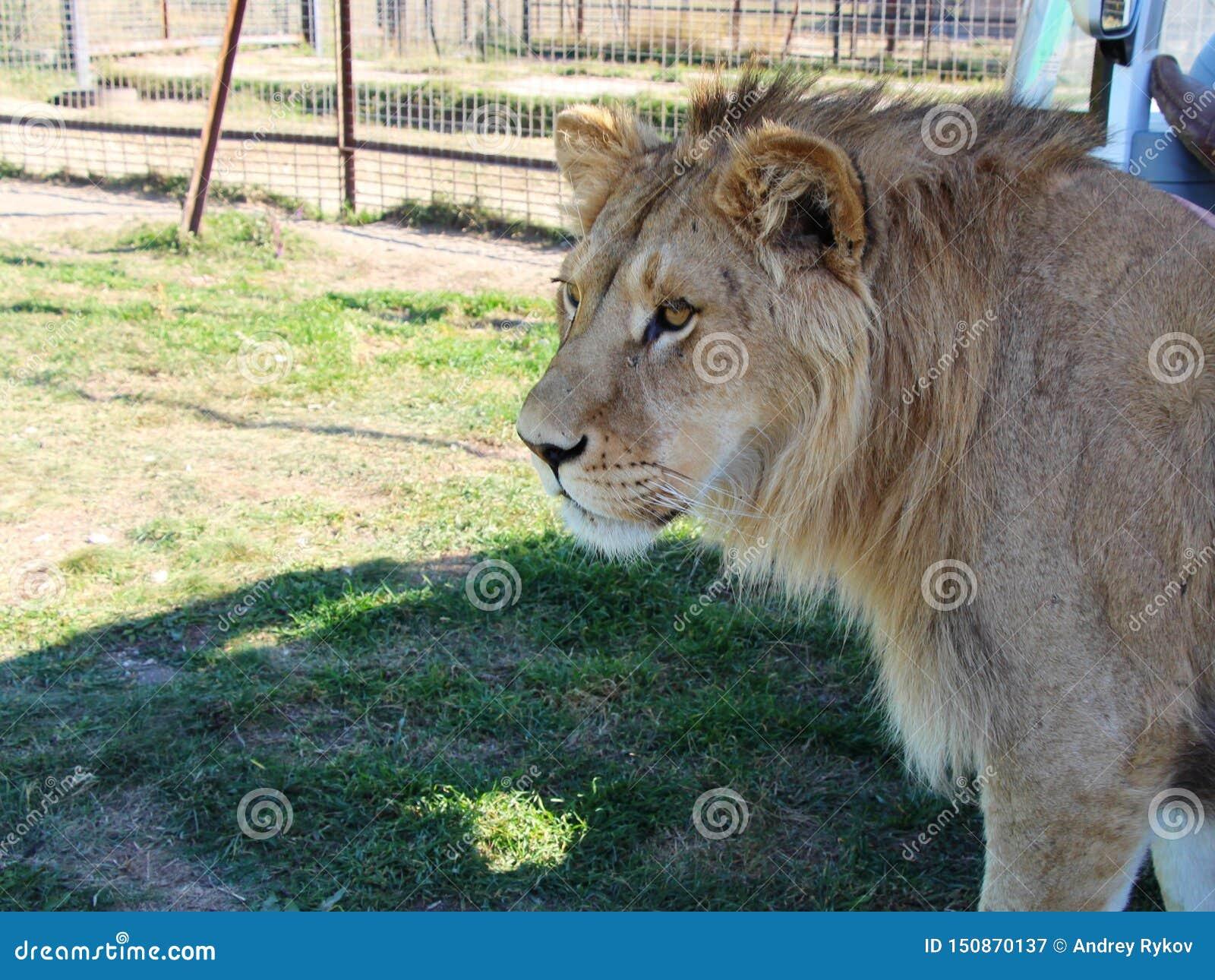 Opinião do close-up o leão novo