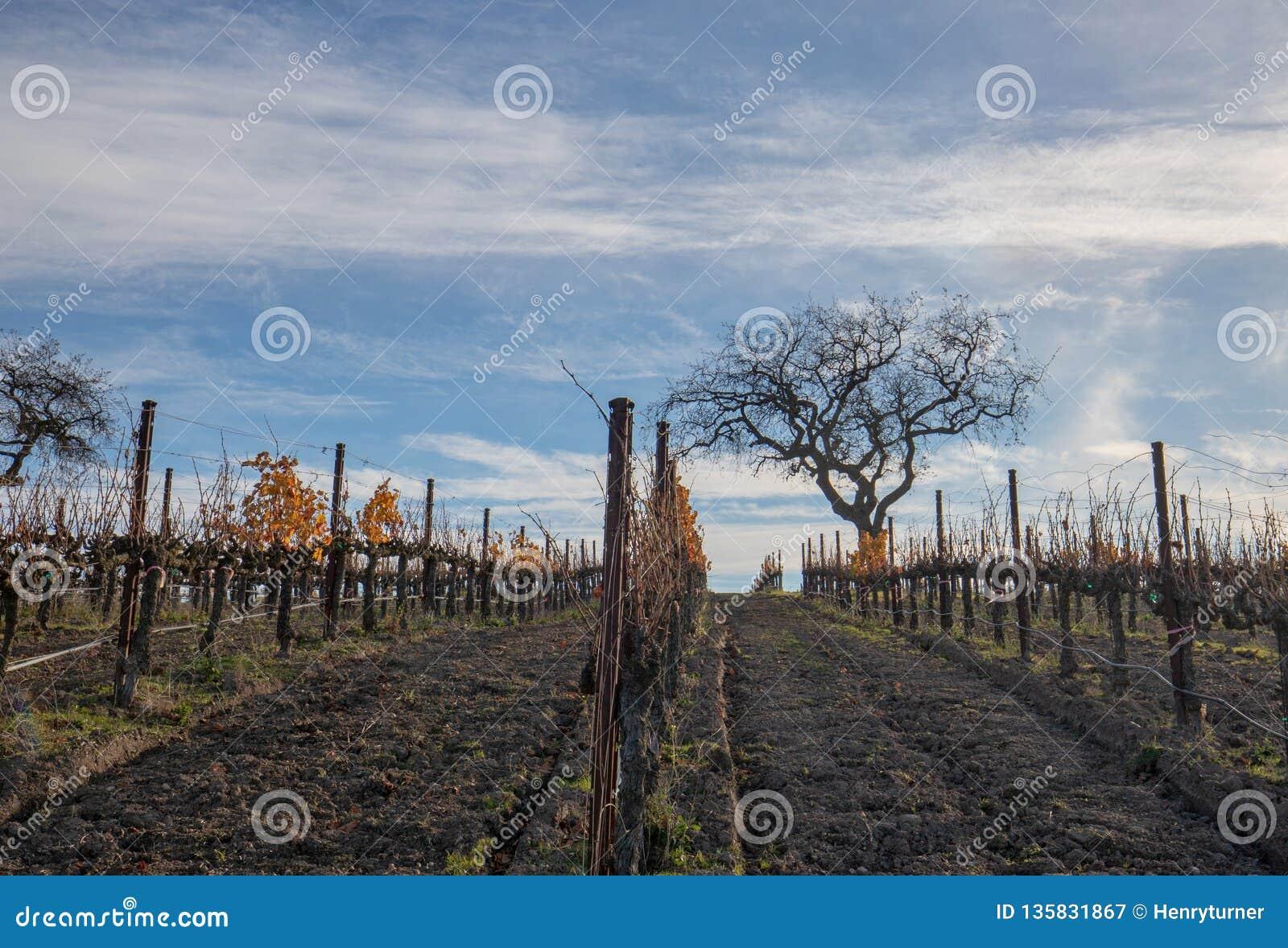 Opinião do inverno da árvore no vinhedo nos montes de Santa Barbara em Califórnia central EUA
