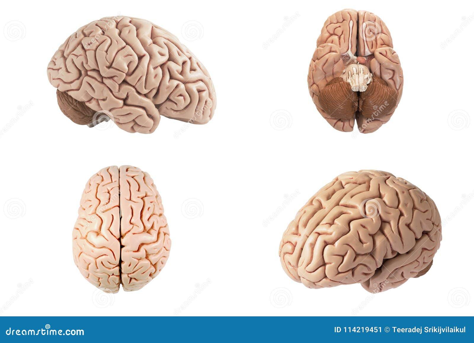Opinião indiferente do modelo artificial do cérebro humano