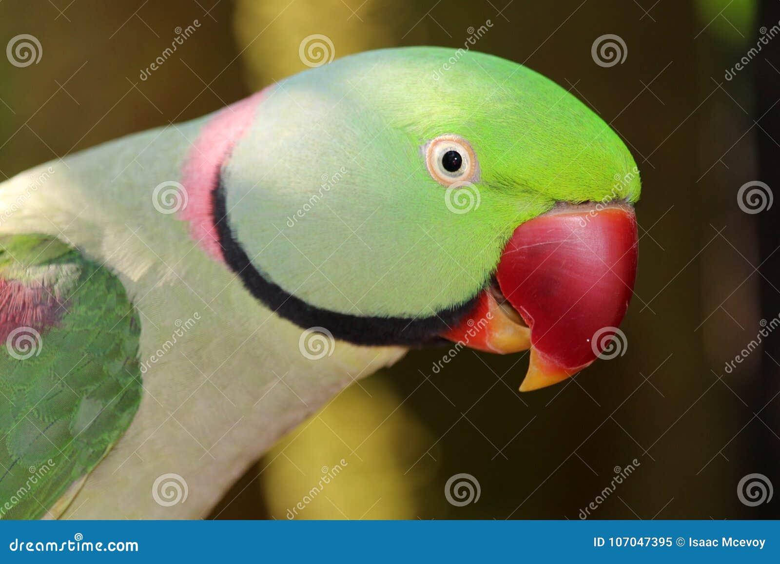Opinião lateral da cabeça do papagaio do alexandrino