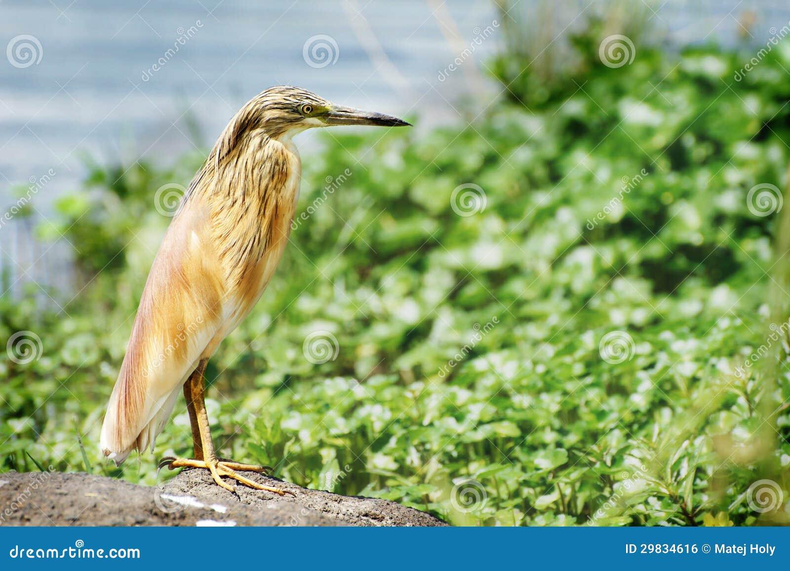 Garça-real indiana da lagoa