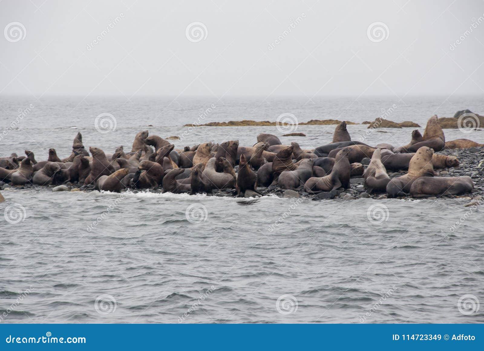 Opinião os leões de mar que descansam na praia na costa