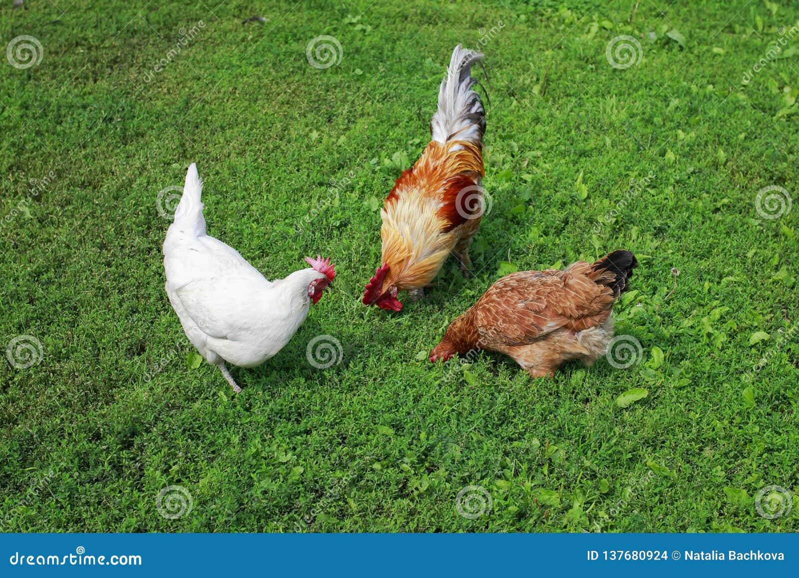 Opinião superior as aves domésticas a e as galinhas que andam na grama verde suculenta na jarda de exploração agrícola no verão