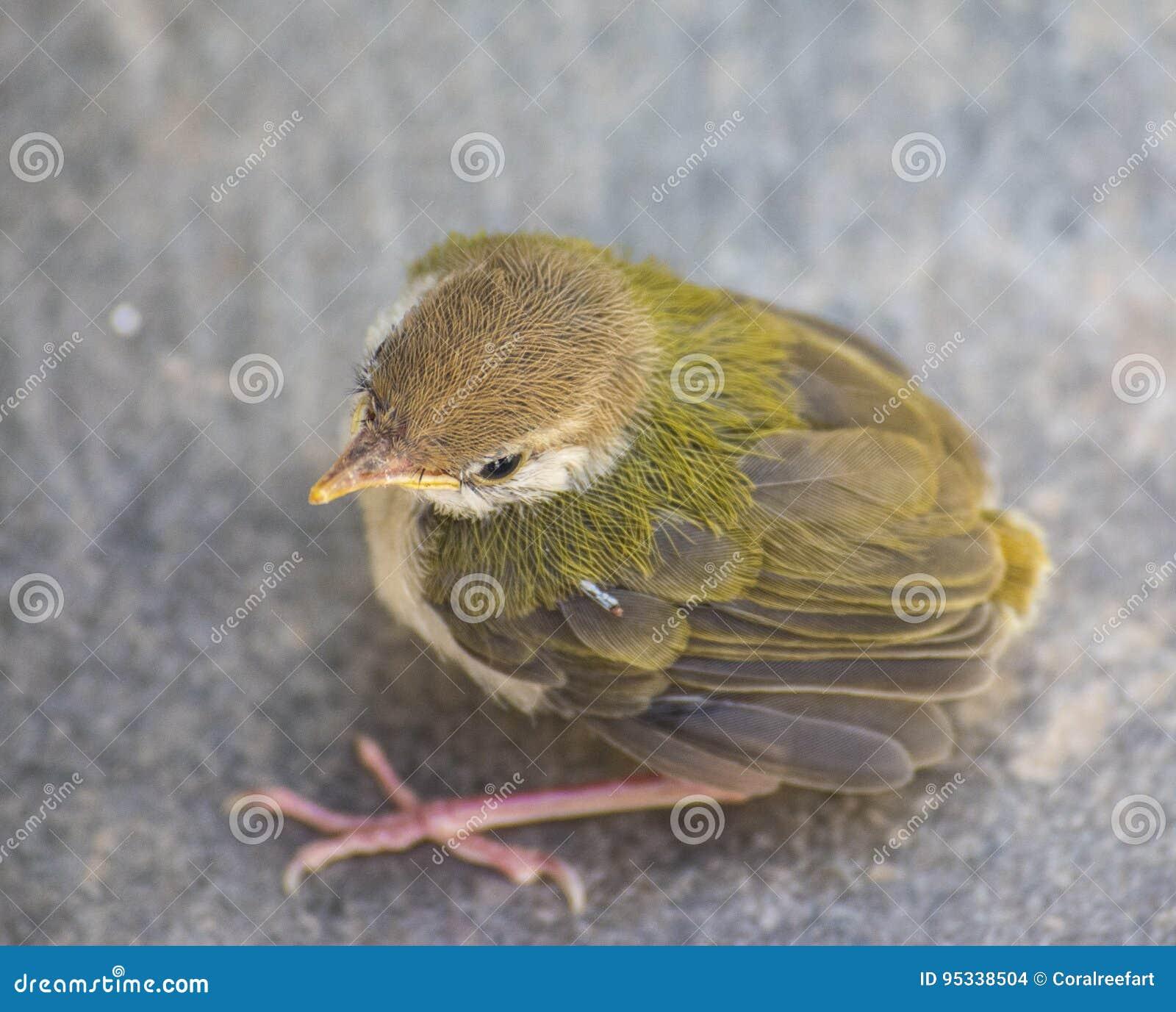 Opinião superior de Bird do alfaiate juvenil