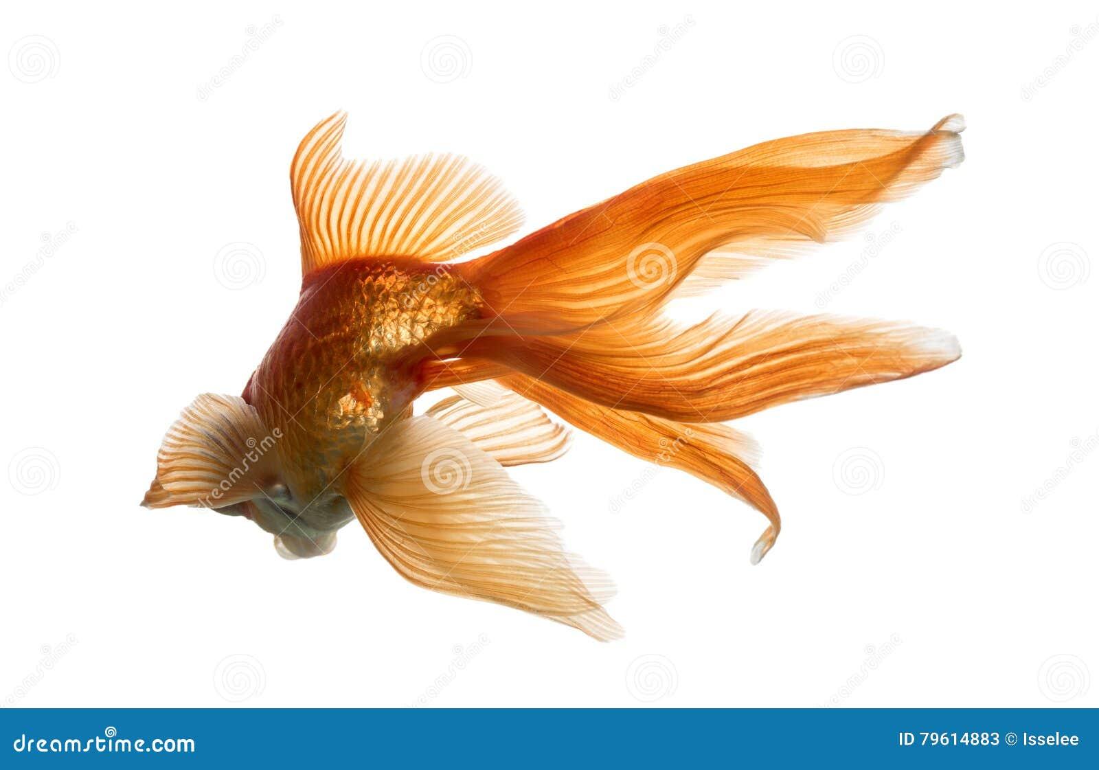 Opinião traseira um peixe dourado na água, islolated no branco