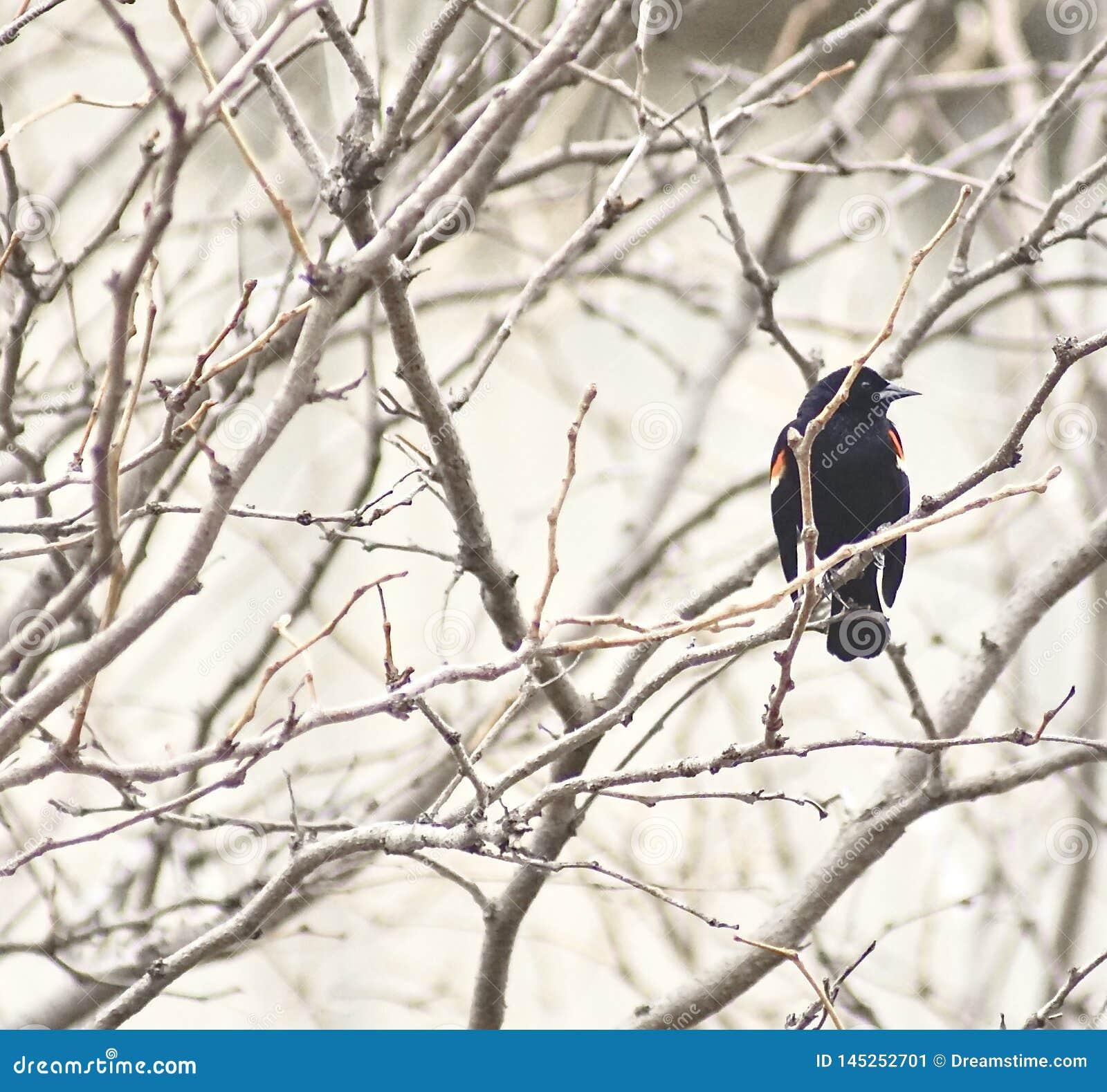 Opinião um melro voado vermelho canadense entre ramos