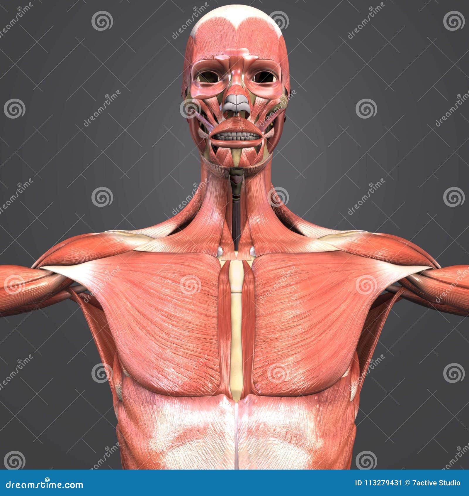 Opinión Anterior De La Anatomía Del Músculo Stock de ilustración ...
