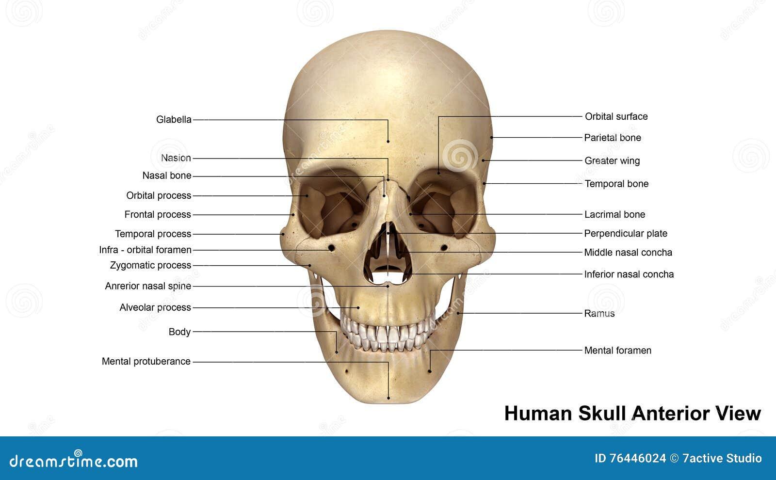 Opinión Anterior Del Cráneo Stock de ilustración - Ilustración de ...