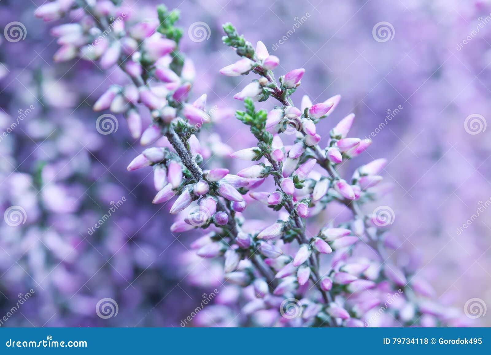 Opinión común de la macro del brezo Pequeñas flores violetas, profundidad del campo baja Fondo púrpura suave