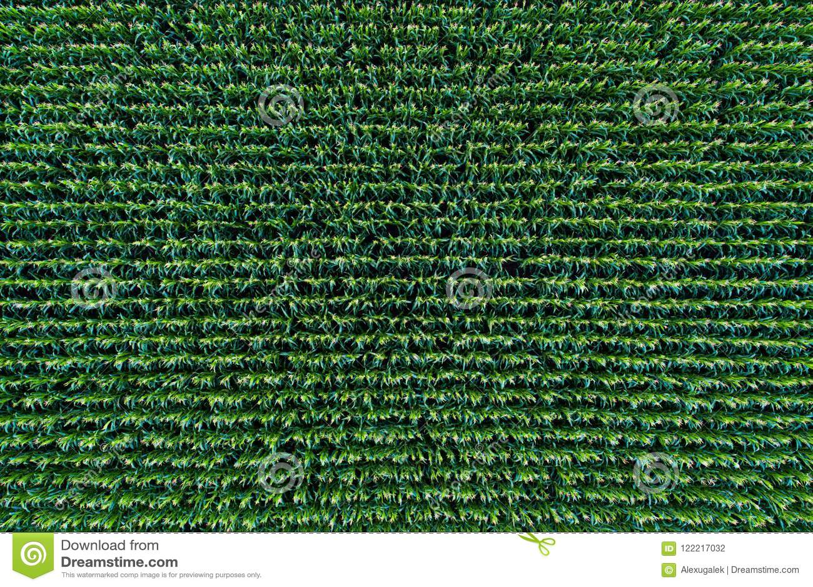 Opinión de campo de maíz desde arriba