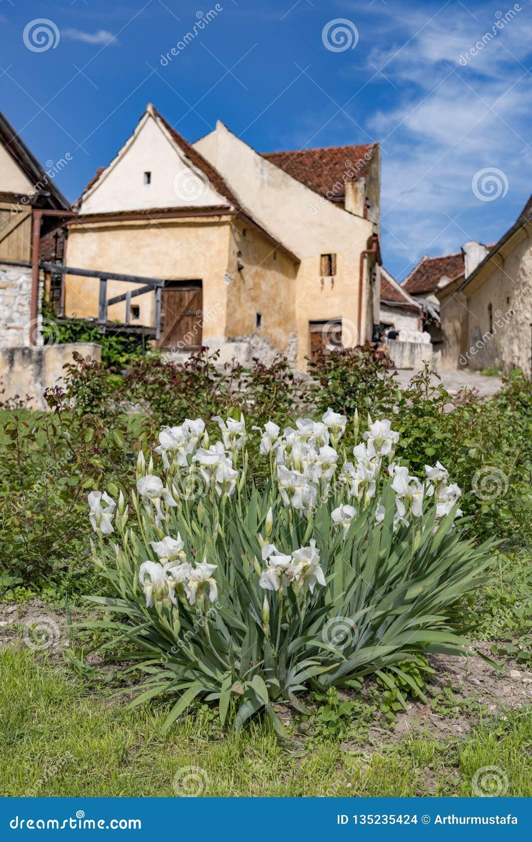 Opinión de la primavera del countryard interno de la ciudadela de Rasnov, en el condado de Brasov (Rumania), con los iris blancos