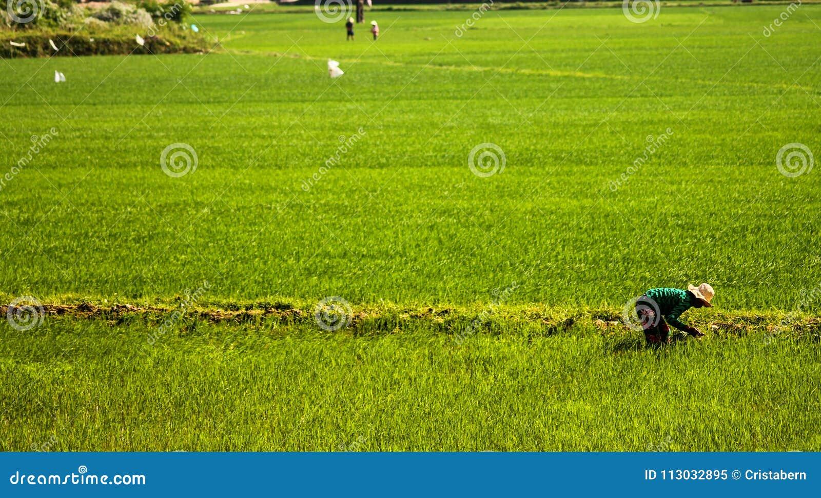 Opinión del campo del arroz del verde de Claear