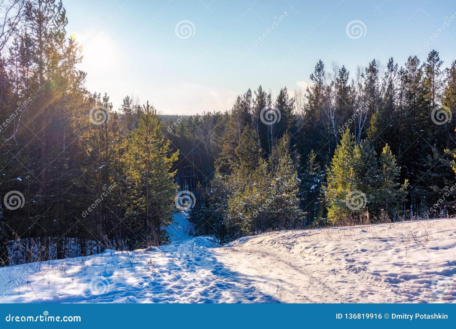 Opinión del invierno de la colina en un bosque joven del pino en un día soleado