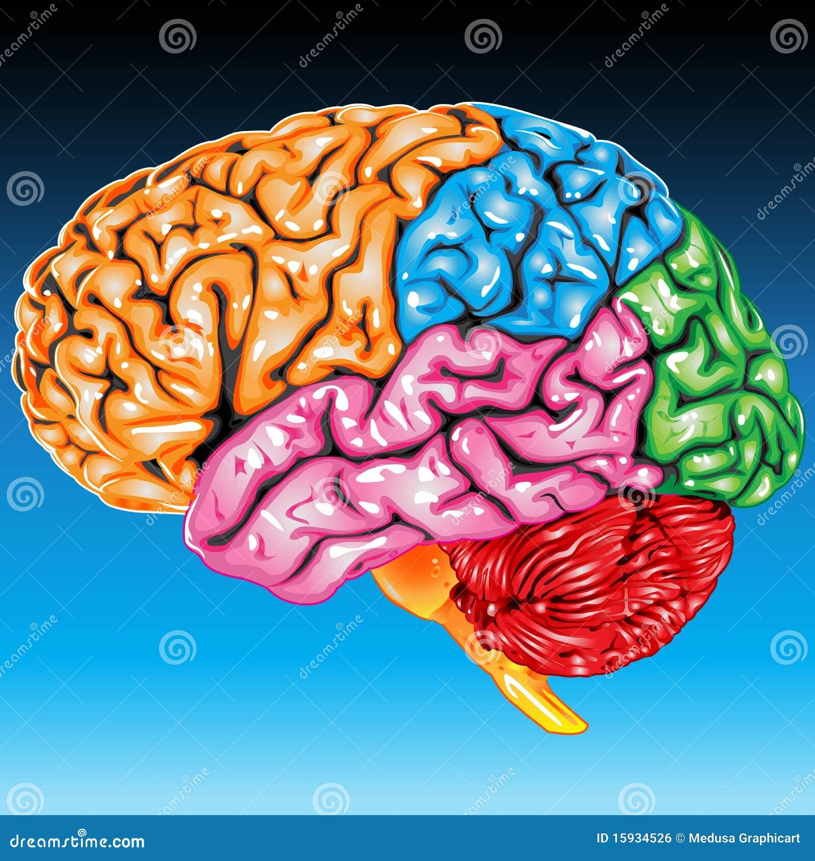 Opinión del lateral del cerebro humano