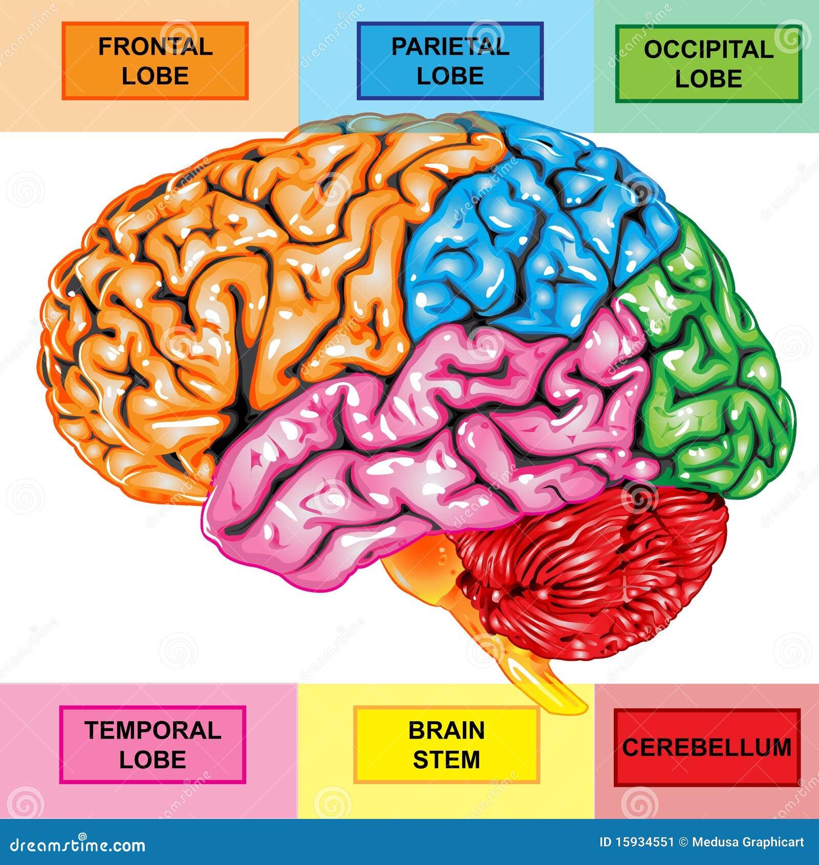 Opinión Del Lateral Del Cerebro Humano Stock de ilustración ...