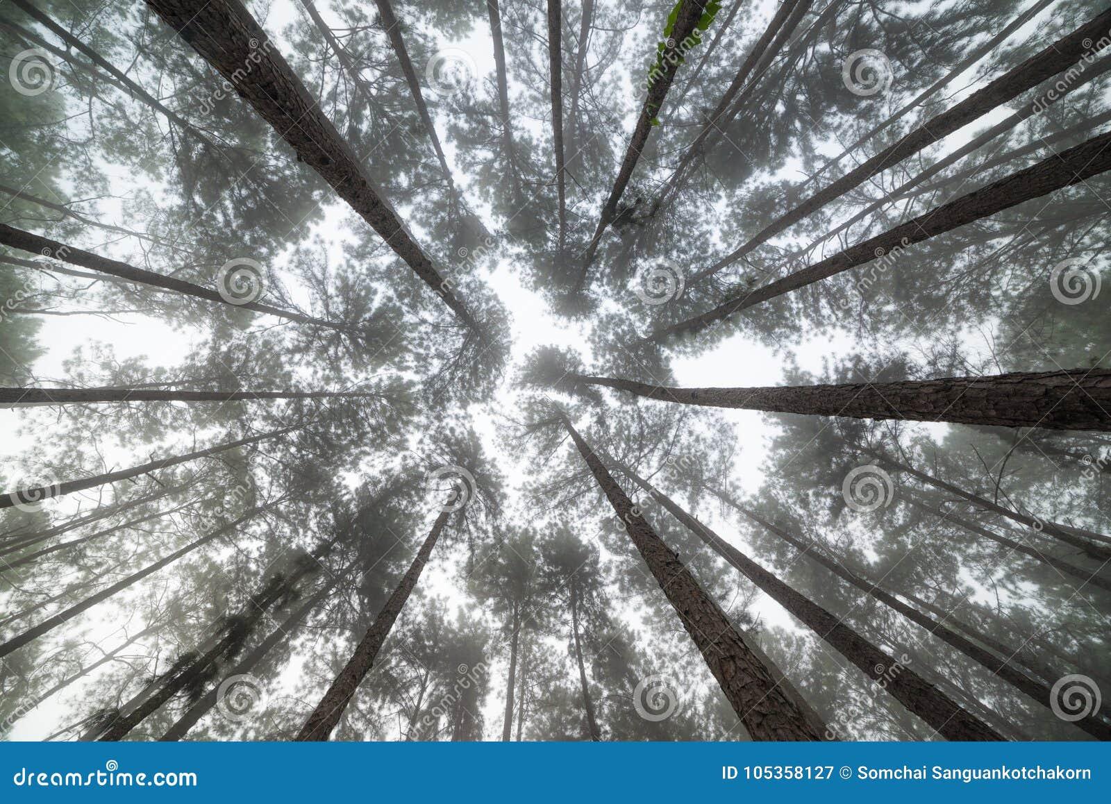 Opinión Del Ojo De La Hormiga Del Grupo De árbol De Pino En De