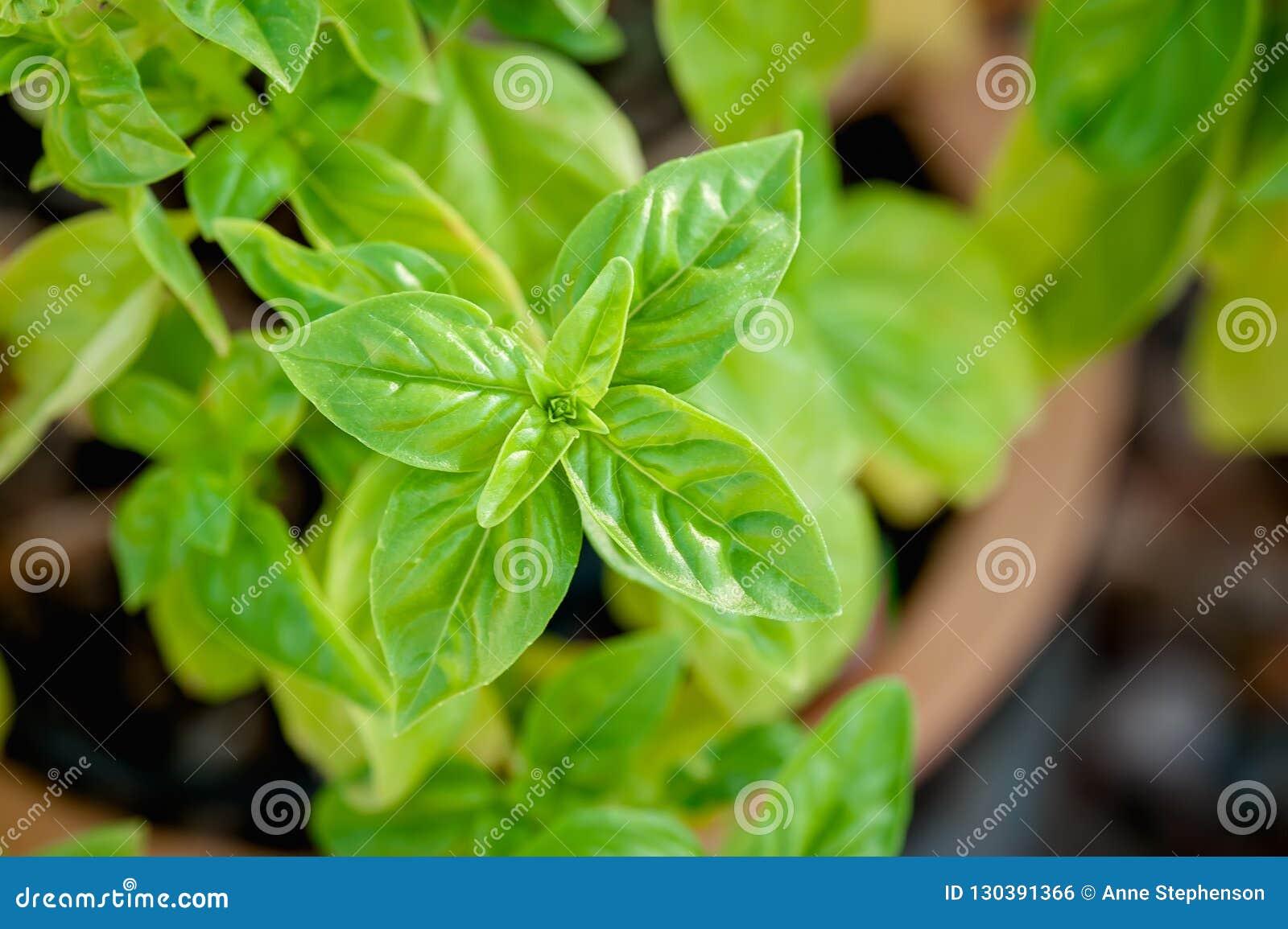 Opinión del primer de la albahaca que crece en un pote de la terracota en un jardín