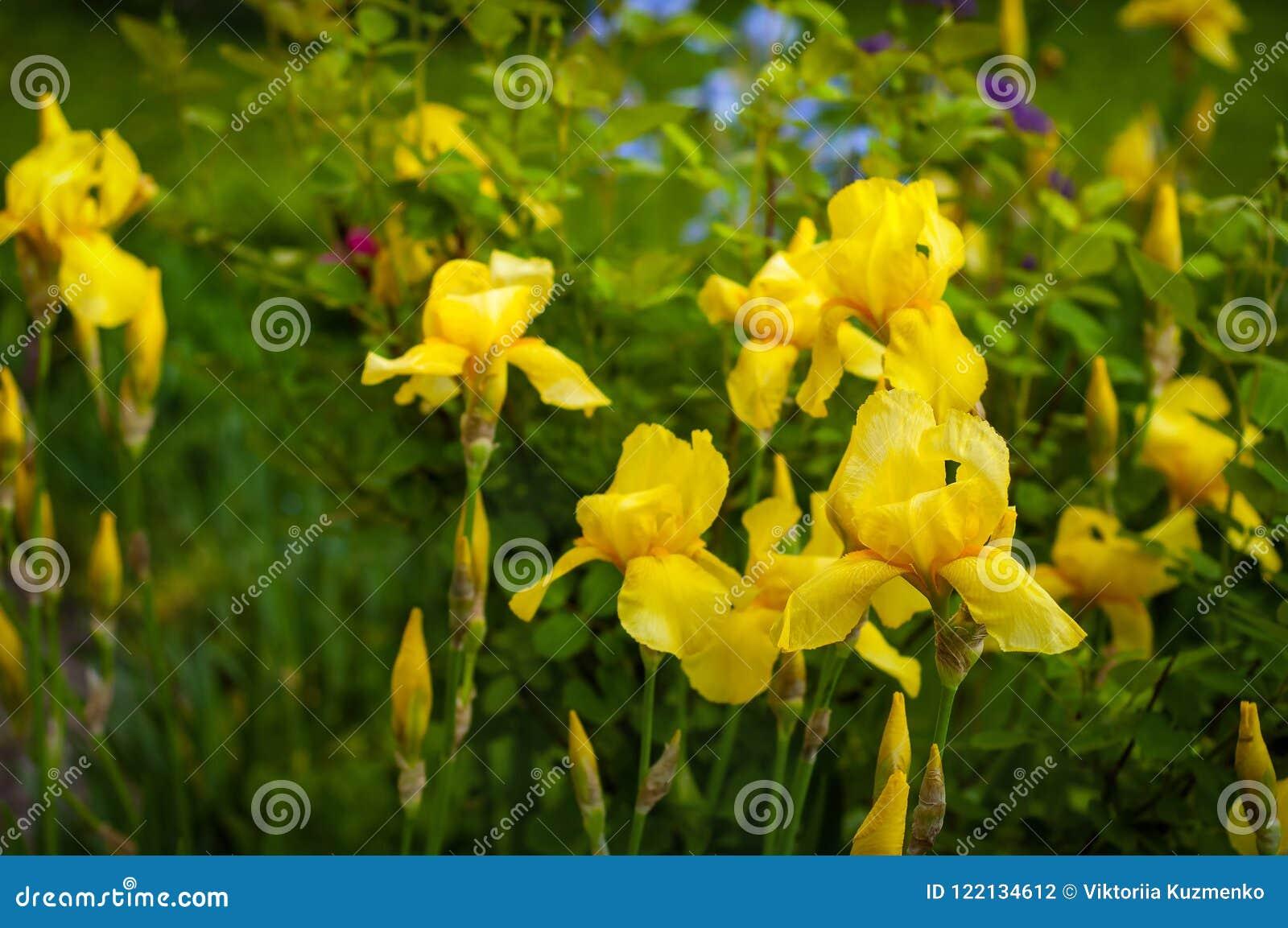 Opinion Del Primer De Una Flor Del Iris Amarillo En El Fondo De