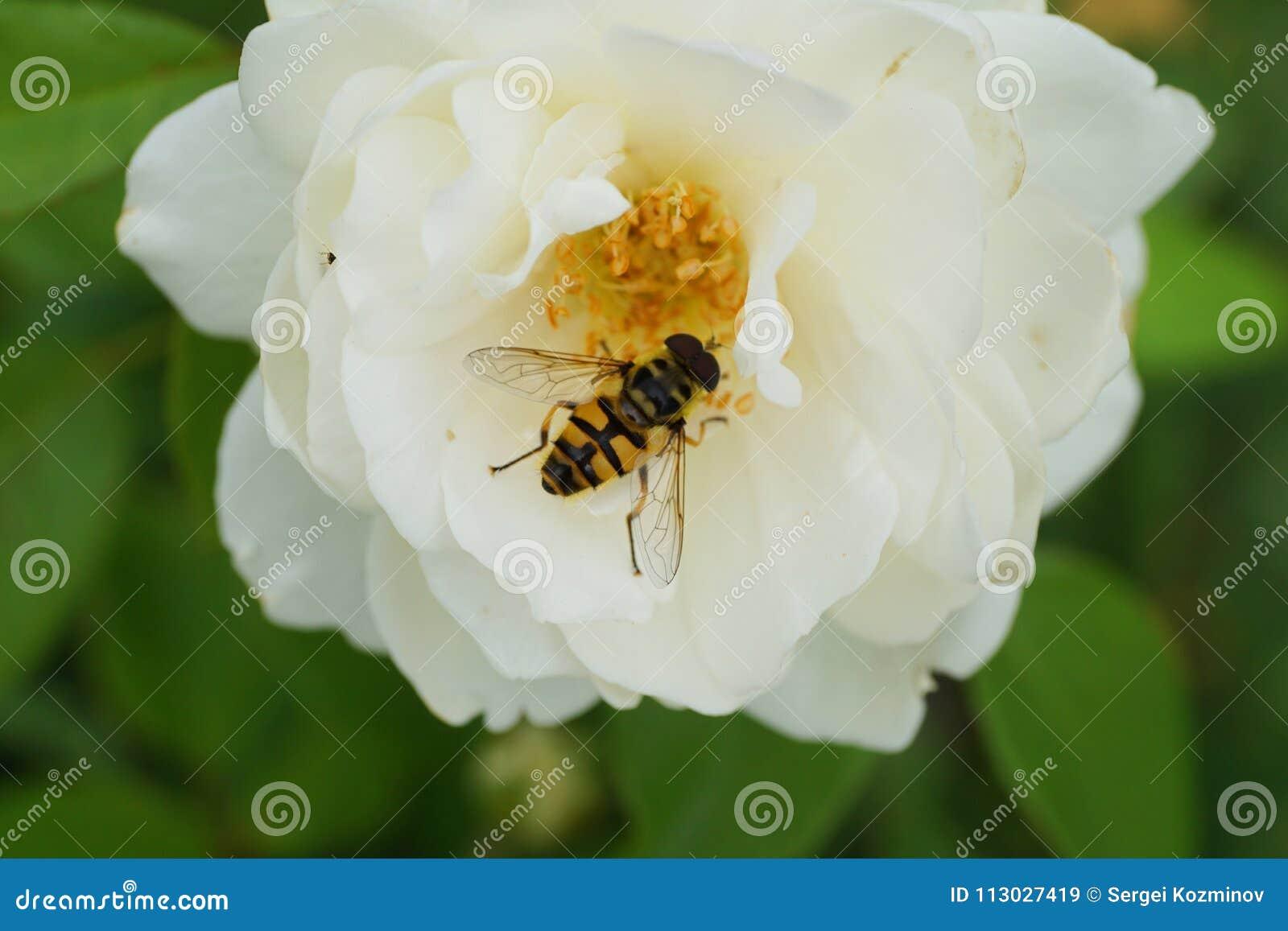 Opinión del primer desde arriba de una mosca caucásica floral hoverfly de t