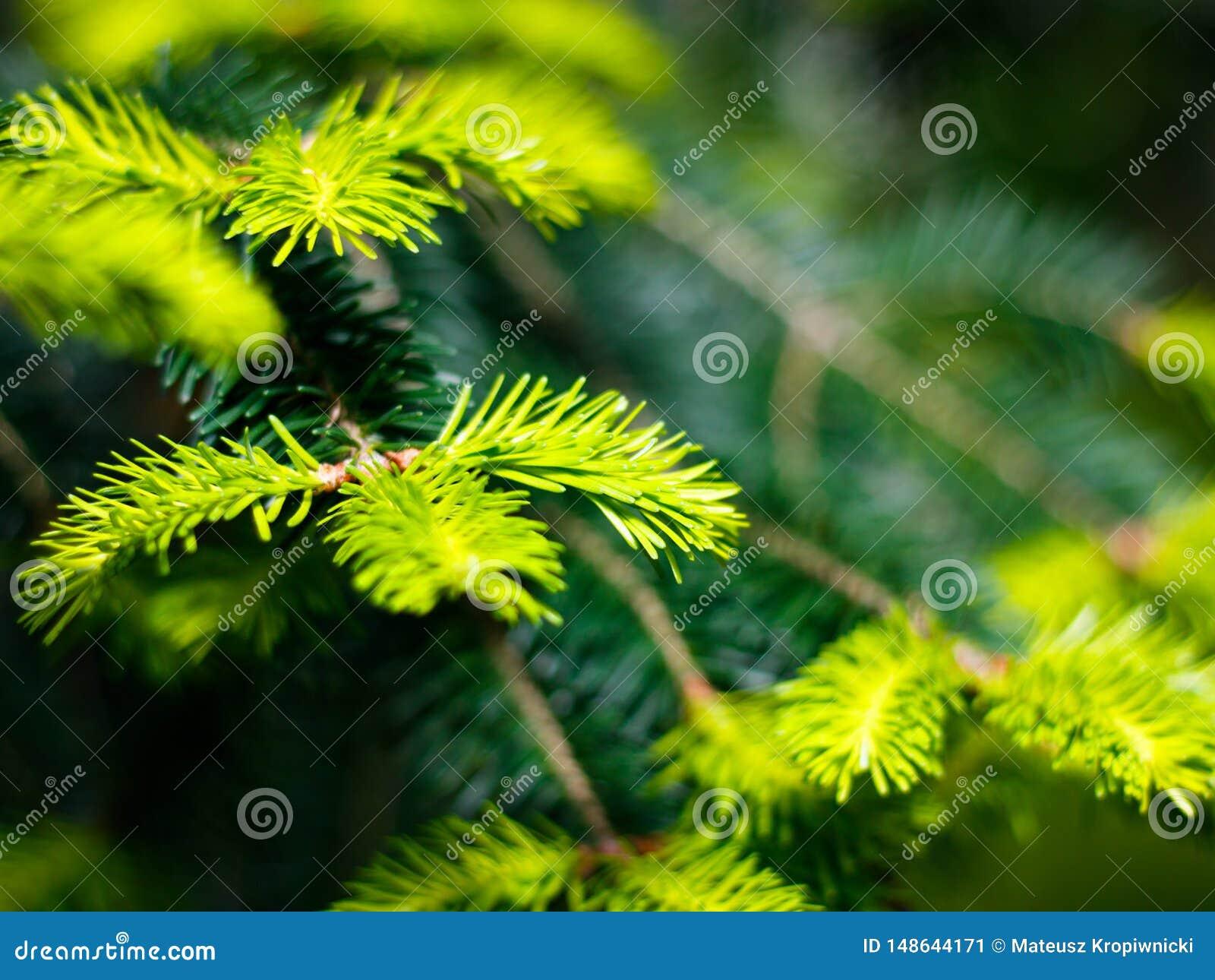 Opinión del primer recientemente del verde, agujas jovenes del pino