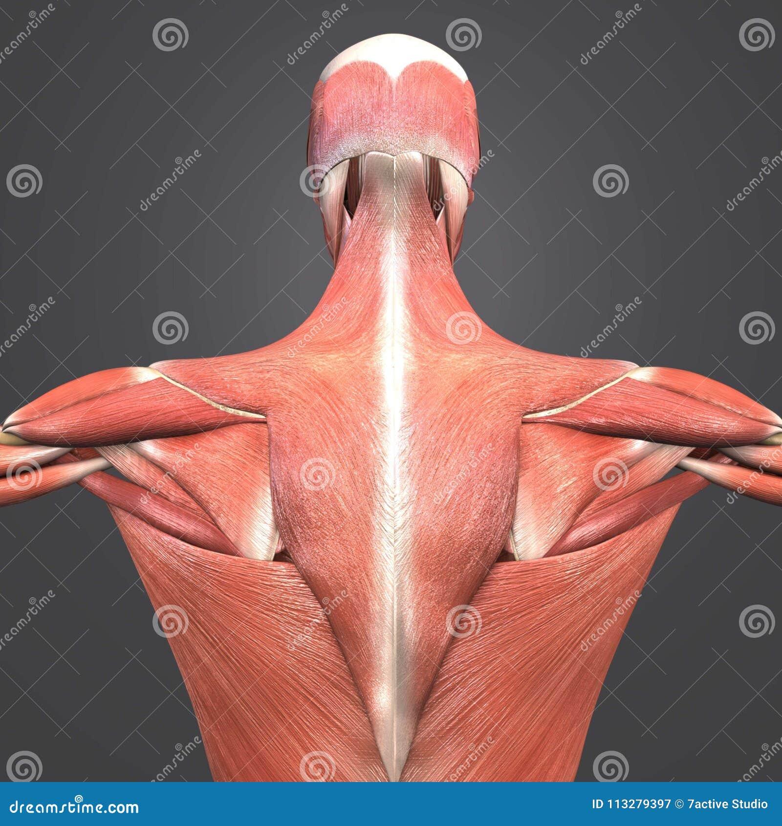 Opinión del trasero de la anatomía del músculo