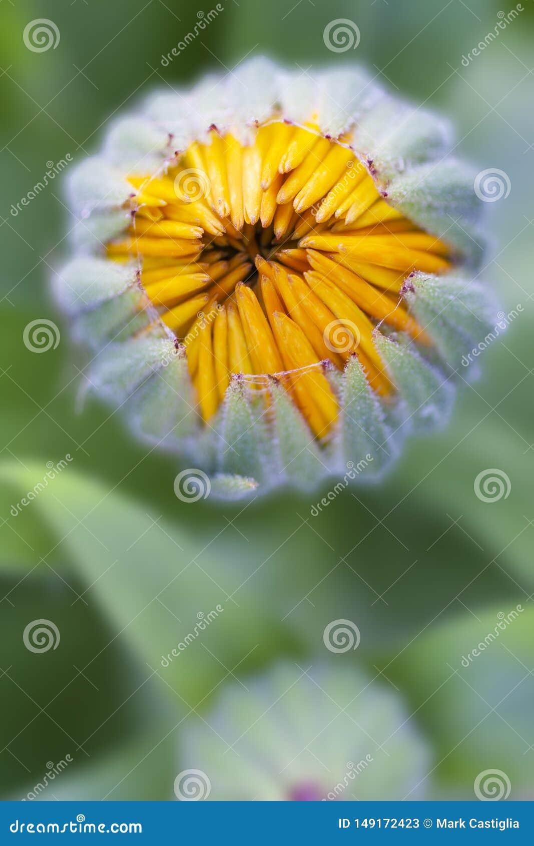 Opini?n macra del brote de flor P?talos amarillos alrededor a abrirse