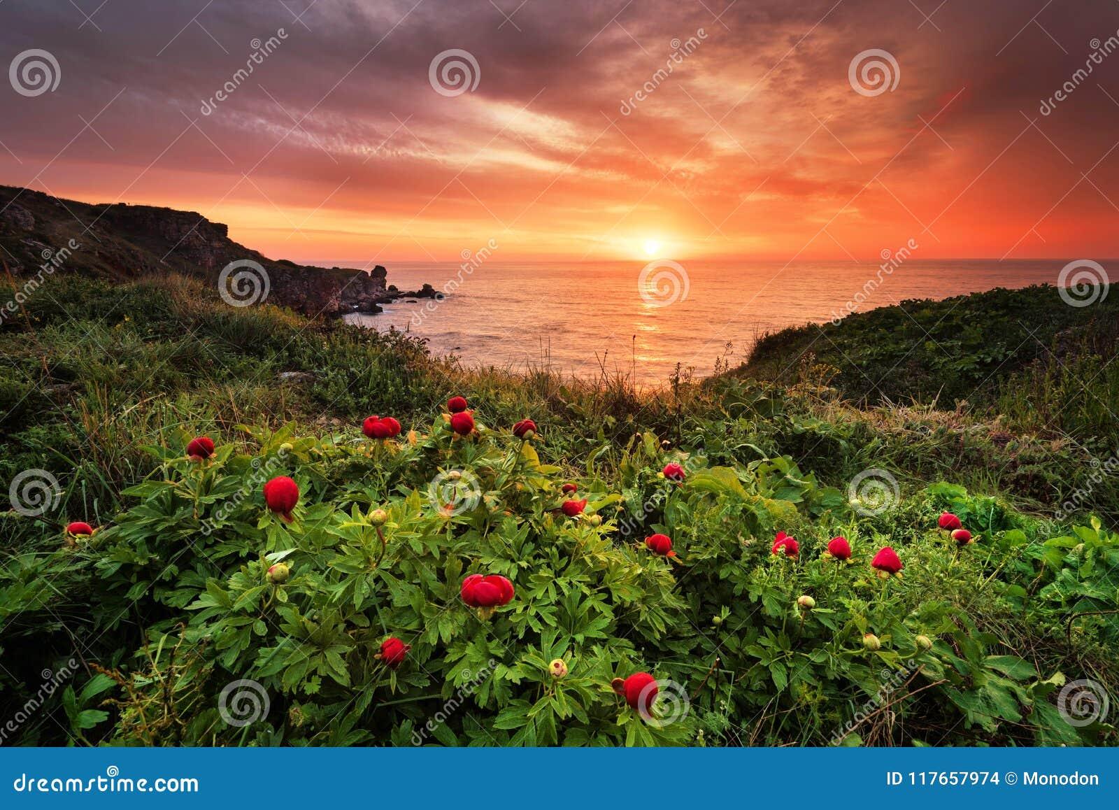 Opinión magnífica de la salida del sol con las peonías salvajes hermosas en la playa