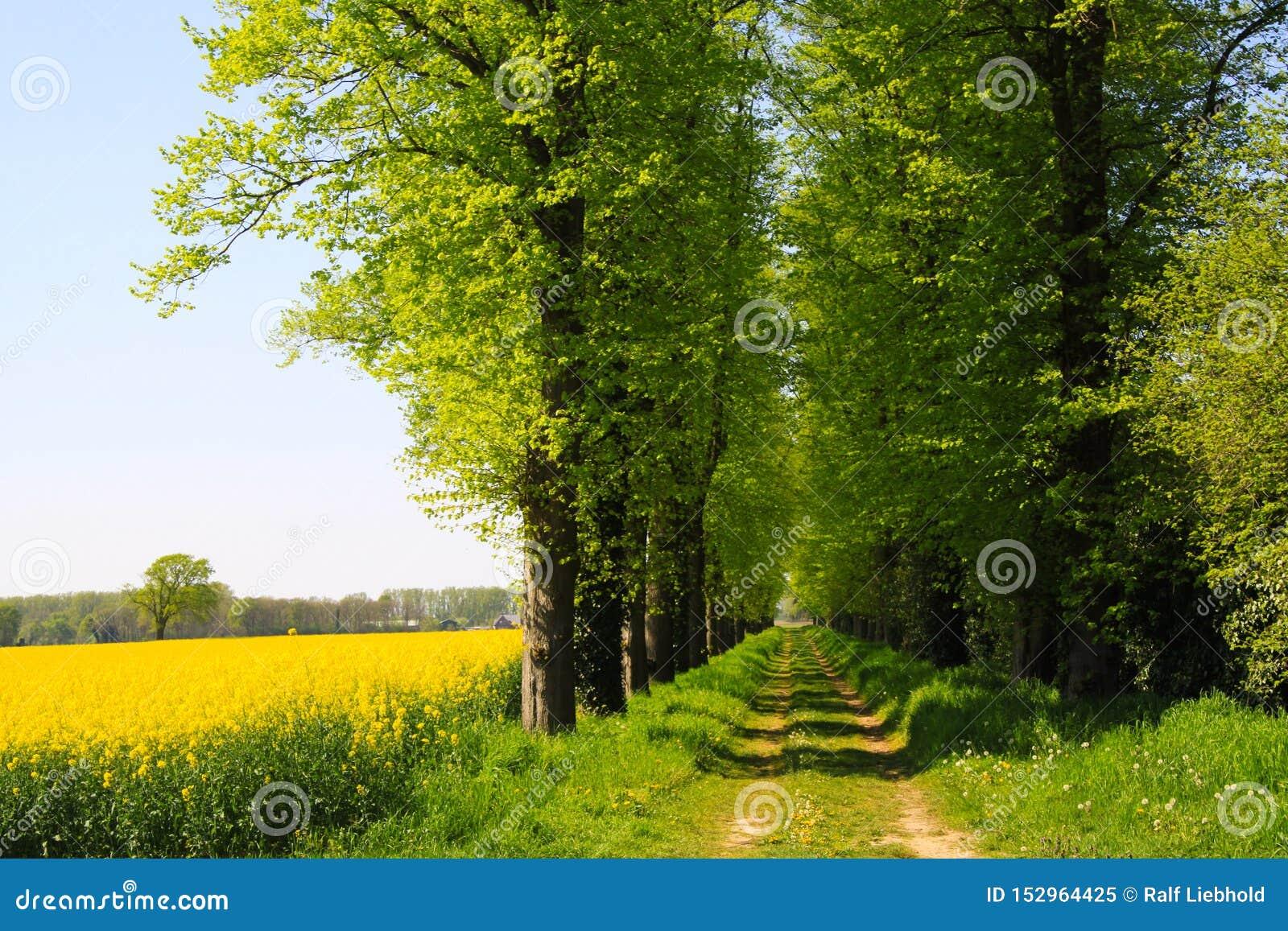 Opinión sobre campo amarillo de la rabina con los árboles verdes y la trayectoria agrícola en paisaje rural holandés en primavera