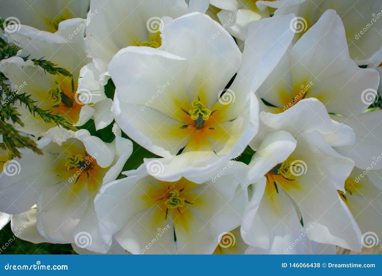 Opinión superior tulipanes blancos hermosos