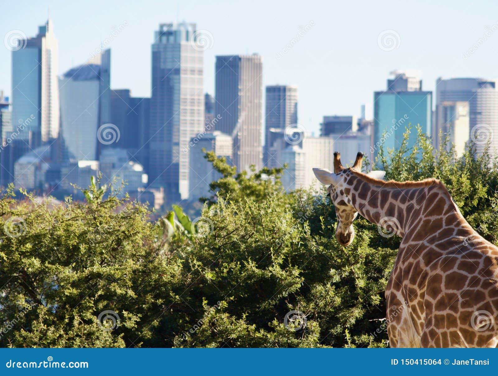 Opini?n la jirafa que mira el horizonte de Sydney - imagen