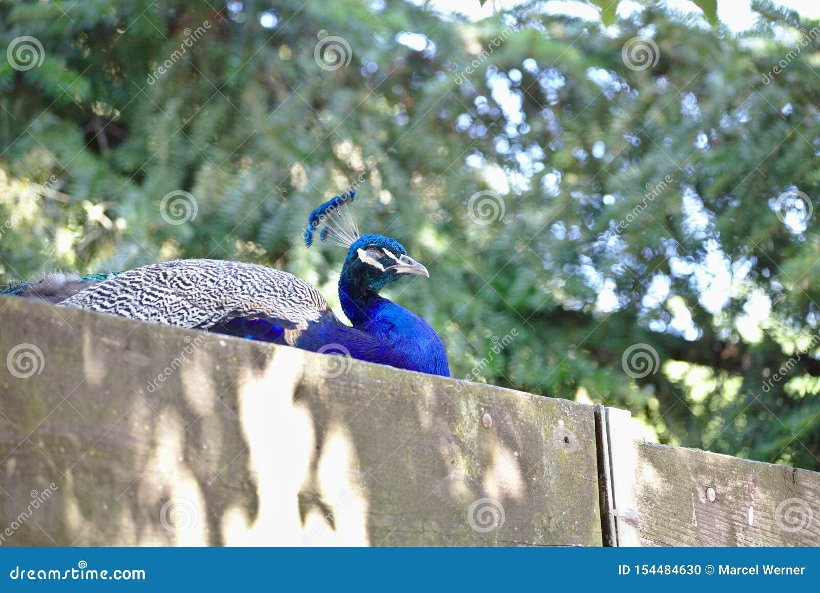 Opini?o ascendente pr?xima o cristatus do Pavo do peafowl indiano ou do peafowl azul, um grande e p?ssaro brilhantemente colorido