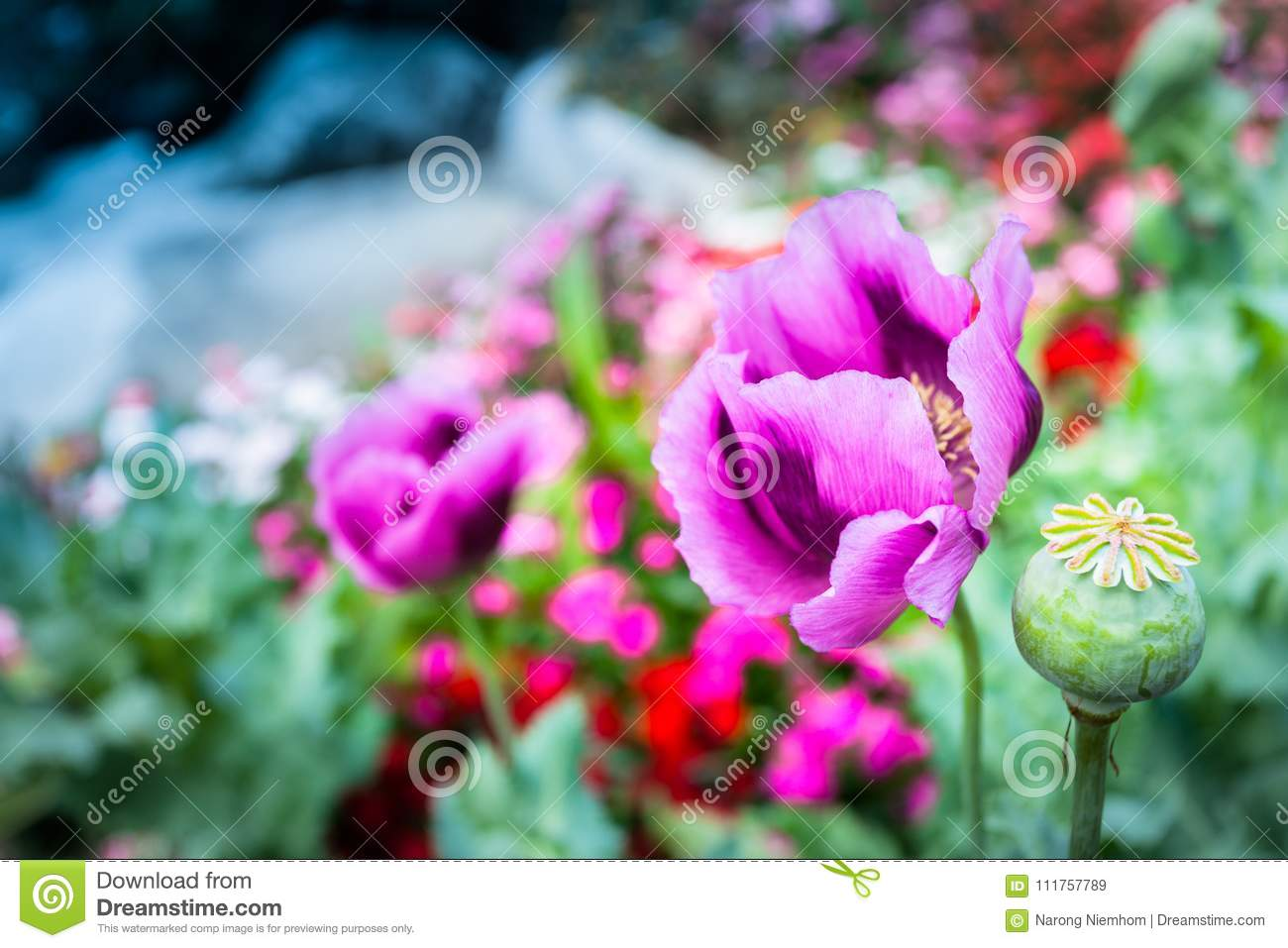 Opium Can Be Extracted As Heroin Stock Image Image Of People