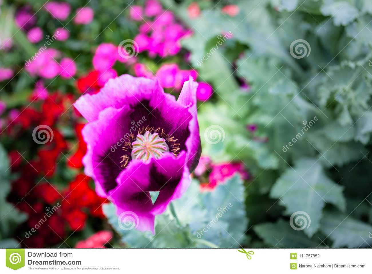 Opium Can Be Extracted As Heroin Stock Photo Image Of Hmong