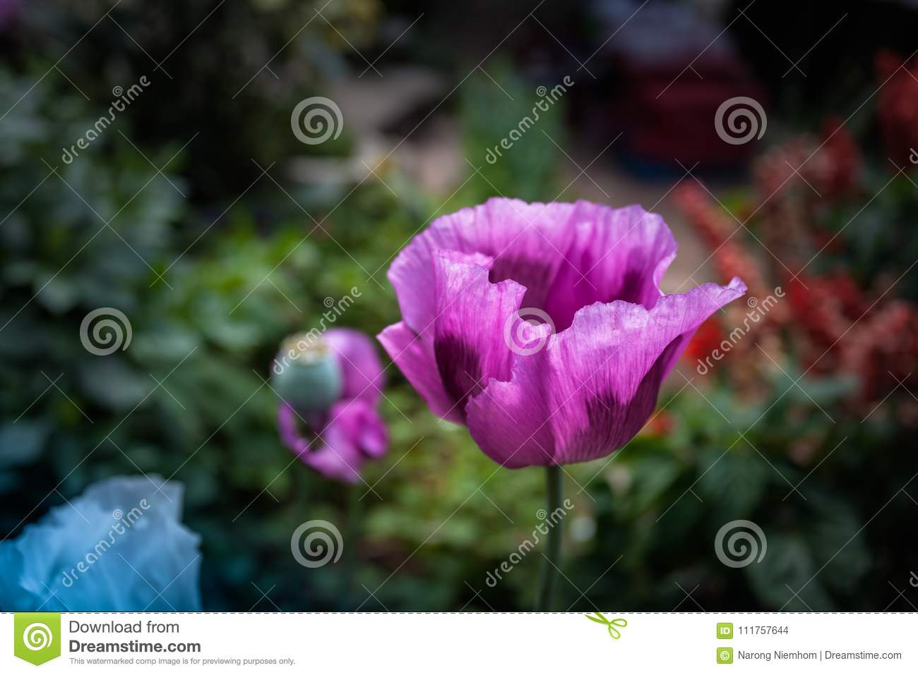 Opium Can Be Extracted As Heroin Stock Photo Image Of Hmong Past