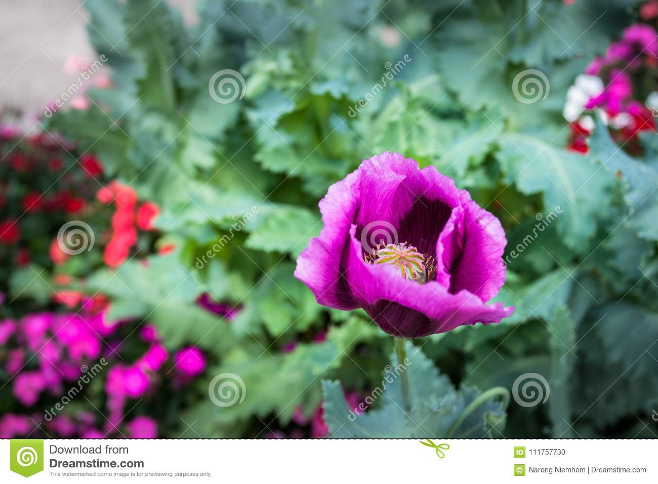 Opium Can Be Extracted As Heroin Stock Photo Image Of Flowering