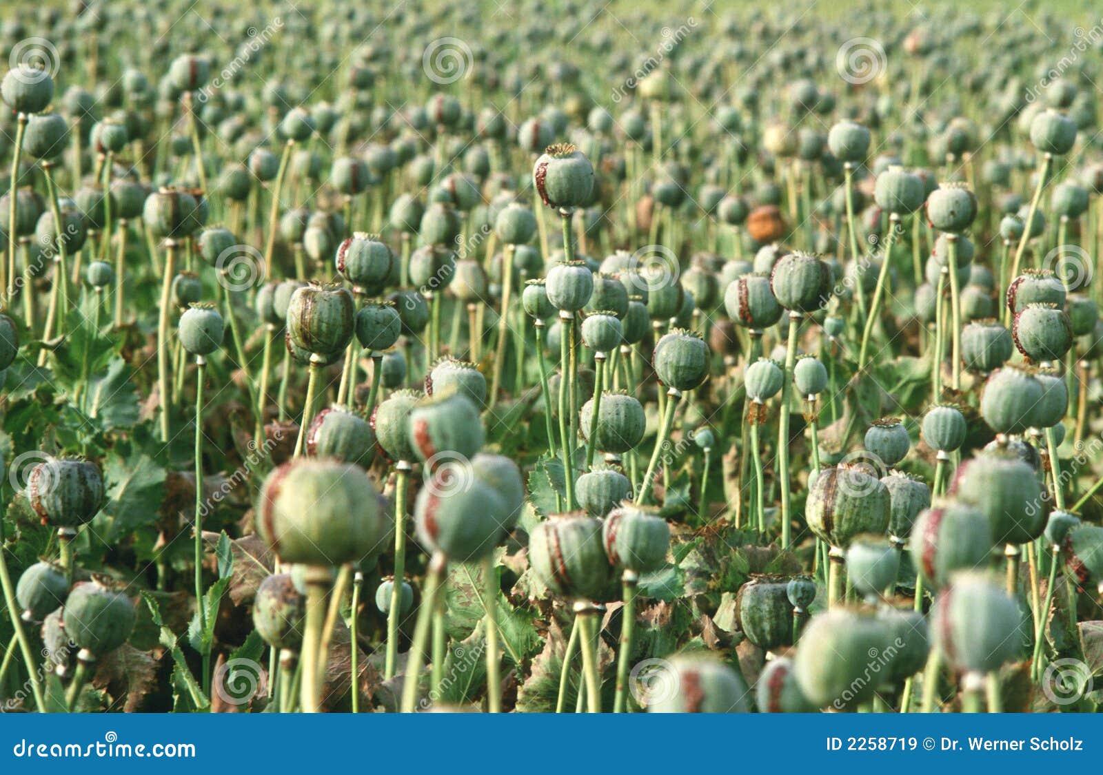 Opium poppy stock image. Image of drugs, medicine ... Opium Drug Plant
